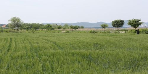 낙동강변 일렁이는 푸른 물결…함안군, 청보리밭 42만㎡ 조성