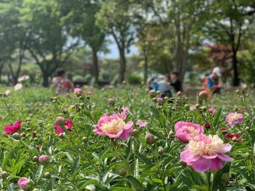 서울대공원에 모란·작약 5만여송이 활짝…봄꽃내음 맡으세요