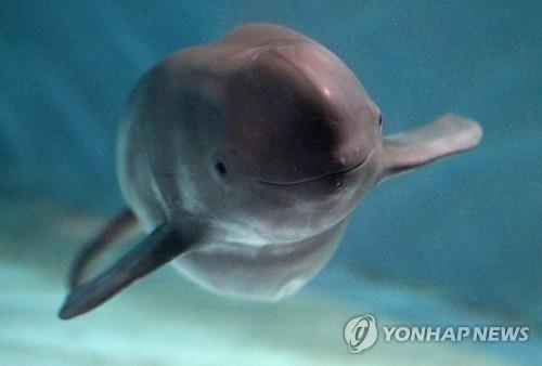 "The file photo shows a finless porpoise, called a ""smiling whale,"" in South Korea. (Yonhap)"
