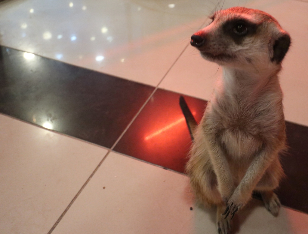 A meerkat sits on the floor of an animal cafe in Gyeonggi Province, west of Seoul, on July 11, 2020. (Yonhap)