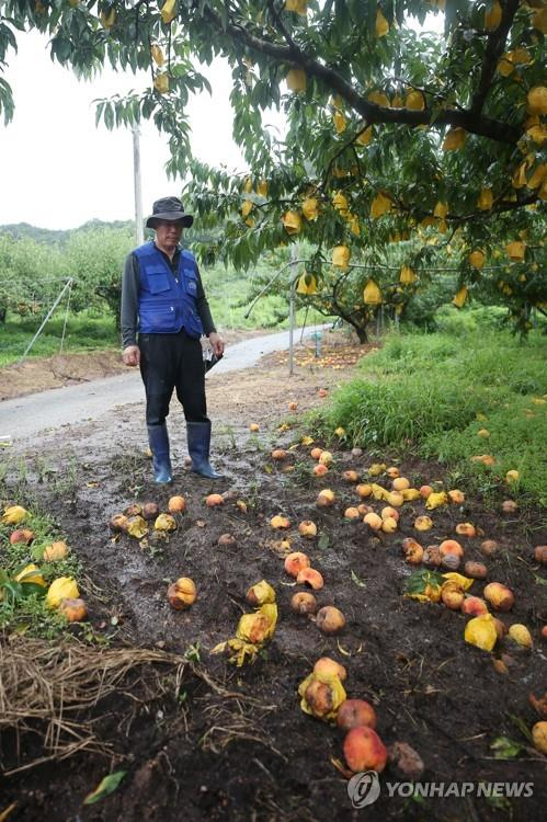 A farmer looks at rotten or crushed peaches at an orchard in Hwasun, South Jeolla Province, southwestern South Korea, on Aug. 10, 2020, after they fell due to torrential rain. (Yonhap)