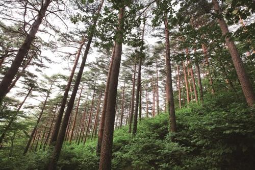 대관령 소나무숲 전경