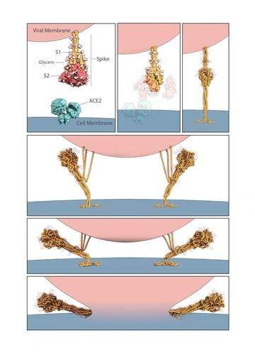 스파이크 단백질의 역할