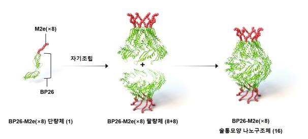 KAIST 전상용·송지준 교수 연구팀이 개발한 범용성 인플루엔자 백신 모식도