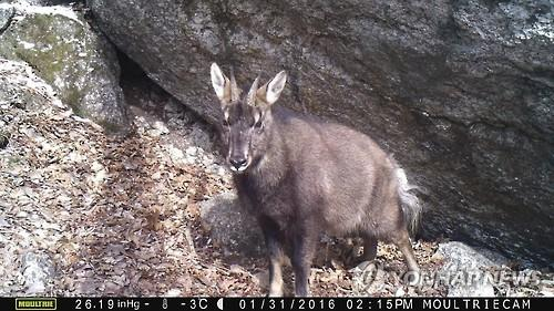 This image, provided by an environmental activist group on Feb. 2, 2016, shows an endangered Korean goral photographed with a camera trap along the planned route of the Mount Seorak cable car. (PHOTO NOT FOR SALE) (Yonhap)