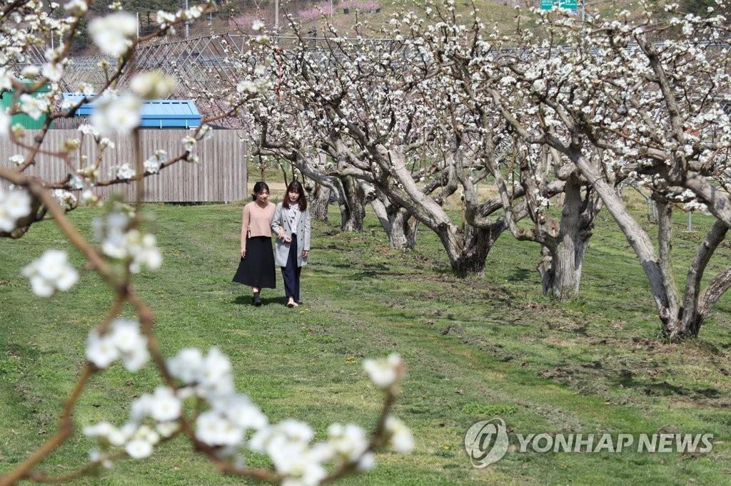 순백 꽃 만발한 100살 넘은 배나무