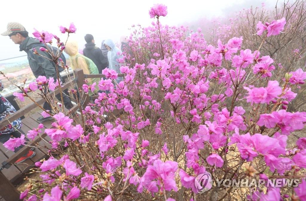 '참꽃 만개한 비슬산'