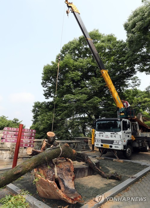 Removal of 600-year-old zelkova tree