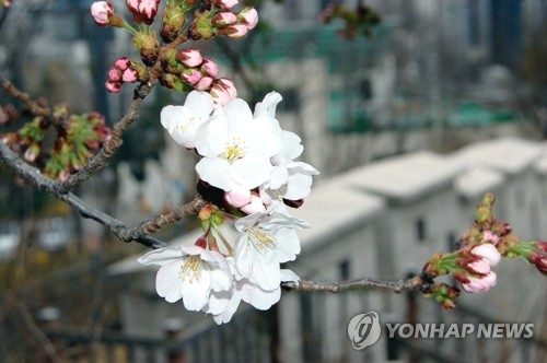 (LEAD) Seoul observes record early cherry blooming