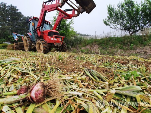 Garlic discarded due to expected price plunge