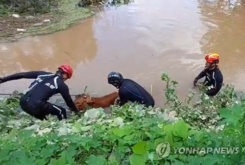Rescuing cows